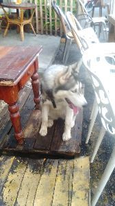 シベリアンハスキーが好きな人集まれ!! ペナン島で見つけたハスキー。 暑い国で頑張ってるネ。