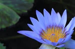 """海抜0メートル地帯 """"睡蓮の花"""" が 見ごろの模様。(TVニュースより) 睡蓮の花でも、見に行き"""