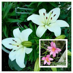 海抜0メートル地帯 今晩は。  咲きました、花 2種。 グリッドで、編集し 投稿です。^^