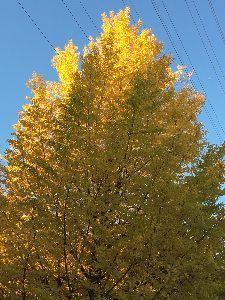 聖蹟桜ヶ丘のトピックをもう一度 今日はとても良い天気でした。 散歩に出かけたら青空の中にイチョウの黄色が鮮やかに輝いていました。 綺