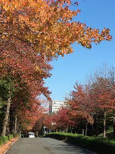 聖蹟桜ヶ丘のトピックをもう一度 私が定点観測している豊ヶ岡の上之根大通りのアメリカ楓の紅葉です。 いつもは綺麗なグラデーションでとて