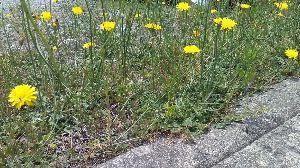 ★★居酒屋 ししまる^^★★ 春の訪れを知らせる花がタンポポ。 でも夏日真夏日でもタンポポらしき花が咲いてるんよな。 これもタンポ