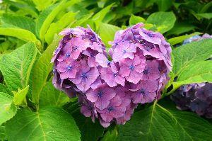 初めまして( ´ ▽ ` )ノ こんばんわ  紫陽花の季節になりましたね(^▽^)/   一般論  土壌が酸性だと 青