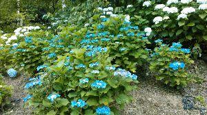 初めまして( ´ ▽ ` )ノ 道端のアジサイ?  多分これもアジサイですよね。  土壌が酸性かアルカリ性かで花の色がちがうって聞い