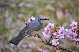 初めまして( ´ ▽ ` )ノ ヒヨドリ  体長 30㎝弱 ヒヨドリは日本中どこでも住んでます  もともとは渡り鳥 冬鳥ですね 北海