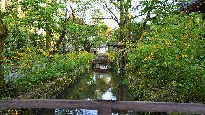 初めまして( ´ ▽ ` )ノ こんばんわ  あったかい日が続きますね  松尾大社の山吹を撮影してきました 今年は開花が早くて もう