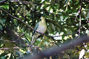 初めまして( ´ ▽ ` )ノ 一応  野鳥撮影も趣味の一つなので、  撮影した野鳥は 調べます   アオバト      優~♪