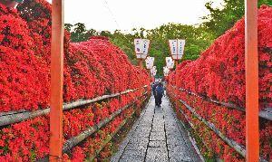初めまして( ´ ▽ ` )ノ こんばんわ  長岡天神・八条ヶ池の霧島ツツジ観に行かれましたか 今年の開花は早く例年だと5月の連休頃