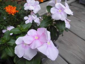 花、いいね。 まりもさん  おはようございます。  今日も昨日と同じような空模様、暑さも一段落です。 まりもさんは