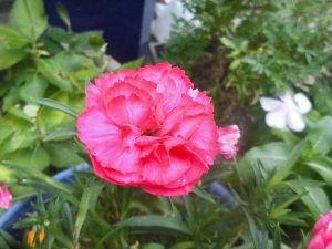 花、いいね。 まりもさん  おはようございます。  夜中の三時過ぎから小雨が降り出しましたが、今は止んでいます。