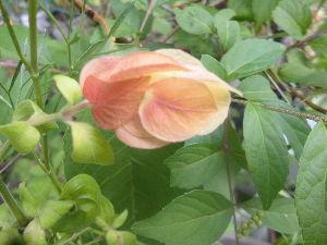 花、いいね。 おはようございます。  今朝もよく晴れて、日中は暑くなりそうな空模様です。 ハイビスカスの花、こちら