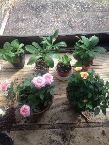 ゲームファンの喫茶室 今秋発売予定の欲しいゲームが発売されない・・ 朝から園芸してて、買った苗2つを鉢に移したら、ピンクの