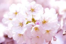 株式の話とかいろいろ 元様を養分などと、考えられませぬ😤! 桜の花って、なんか素敵ですよね
