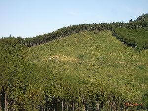 *** ディジカメ散歩 *** 「杉と伐採された所」です。  皆さん、  こんばんは。  ーー 「杉と伐採された所」 です。