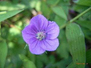 *** ディジカメ散歩 *** 「名を知らない野草の花」です。  皆さん、  こんばんは。  ーー 「名を知らない野草の花」です。