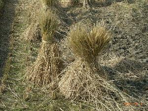 *** ディジカメ散歩 *** 「田んぼに立てた稲(2)」  皆さん、  こんばんは。  ーー 「田んぼに立てた稲(2)」です。