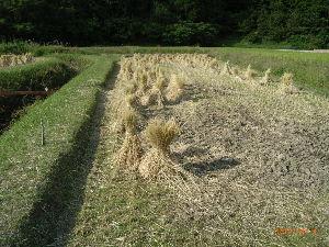 *** ディジカメ散歩 *** 「田んぼに立てた稲」です。  皆さん、  こんばんは。  ーー 「田んぼに立てた稲」 です。