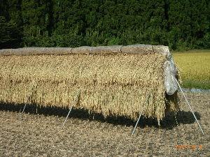 *** ディジカメ散歩 *** 「刈った稲干し」  皆さん、  こんばんは。  ーー 「刈った稲干し」です。