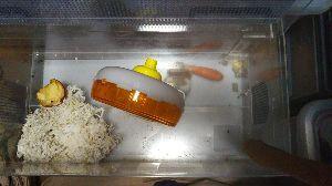 思想鳥とキッチンスケール♪ ゴールデンハムスターのチロが、 地下室で、人参食べてます。  最近、リンゴ以外の餌は、 地下室にまと