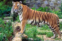 猫の写真を貼っていこう ベンガル猫  💖   野生のヤマネコと短毛種のイエネコを交配 性格 ベンガルは見かけによらず温和で、