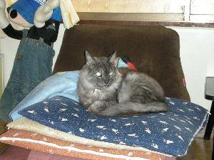 猫の写真を貼っていこう ベンガル猫のベン君、かわいいですね・・・・ はじめて、みました・・・