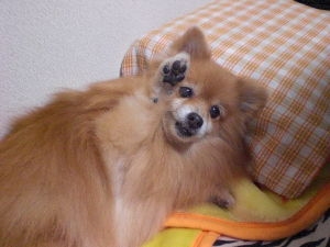 """愛犬""""こうめ""""が天国へ旅立ちました。 愛犬のこうめが寝ている僕のベッドに現れました。 色までハッキリとしたかなりリアルな夢で、自分が眠って"""