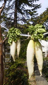 How about writing in English about your everyday things? Hi, again. I hung two pairs of white radishes on t