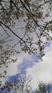 How about writing in English about your everyday things? Hi, again! This is a picture of cherry blossoms ta