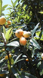 How about writing in English about your everyday things? Here is a picture of loquat. The season has come!!