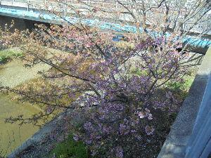 この指と~まれ♪ みなさん こんばんわ~^^  今日も、暖かったですね。  いつもの、ウォーキングコースで桜がちらほら