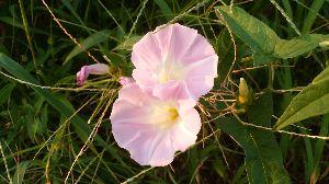 心のおもむくままに 5・7・5  ♪ ♯ 朝ウォーク 昼顔の花 咲いており  今朝は少し遅くなったので昼顔の花が開いていました  おはようござ