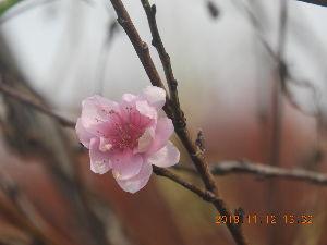 心のおもむくままに 5・7・5  ♪ ♯ 桃の花が咲きました 私と同じ 狂い咲き