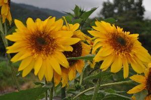 胡蝶の夢   ~~☕_(^^)_☂ 。夢の様な 雨の日曜日。← コレ ヒニク デス!。 (;^_^