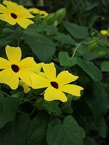 憩いの椅子 6月13日の誕生花 ツンベルギア : Thunbergia alata 花言葉 : 美しい瞳   熱
