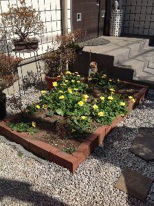 この指止まれ☆彡 息子家の小さな前庭では、予想外の「立(流)金花」(リュウキンカ) が今や我が春とばかりに&helli