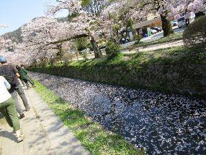 ☆彡憩いの広場☆彡 京都行って来ました~~4月雨ばっかりなのに。。。。  私が行った日は奇跡的に青空キラキラ桜はヒラヒラ