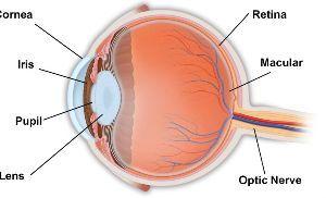 英借文の練習 角膜、、、cornea