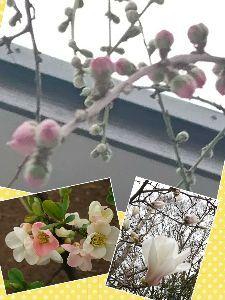 しるし こんにちは。  雨が降らないうちに、そそくさと帰って来ました。 桃の花も桜に負けじと蕾がぷっくりして