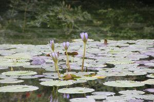 福井県の女子で初心者いますか? 朝は激しい雨でしたが、午後には止み、蒸し暑くなりました。  高知県安芸郡北川村に「モネの庭」を模した