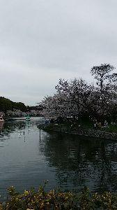 ユーフォ―見ませんですか? お堀の池の桜です^^