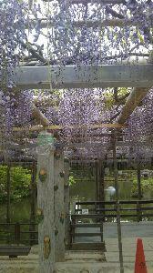 関東 バイク乗りの写真館 ( ´∀` )b 皆さん、おはようございます。  桜が散り、今度はこれ‼️  A.haru