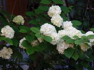 50代の○代も お花の好きな方・・・^^♪ 皆さんおはようございます^^ 今朝も快晴! 暑くなる予報です。  今年は何もかも早く咲いて、藤も満開