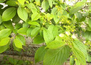 50代の○代も お花の好きな方・・・^^♪ こんばんは~^^ トミさん エビネランいくつもあるのね~どれもきれいです。  >暖地桜桃に接木した旭