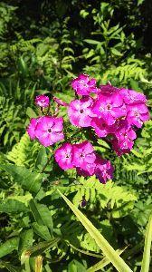50代の○代も お花の好きな方・・・^^♪ うちのフロックスです