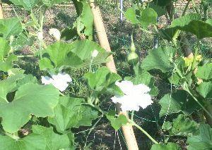 50代の○代も お花の好きな方・・・^^♪ ヒョウタンの花は白い