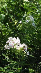 50代の○代も お花の好きな方・・・^^♪ 白も可愛いでしょう~✌ にゃんこ親子、みな、美人ね~✌ 貰い手がつくと、良いね~❗