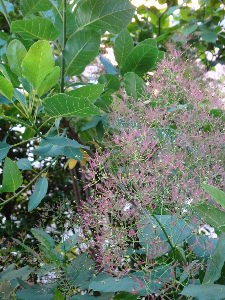気儘にひとりごと スモークツリーが初めて咲きました(*^_^*)