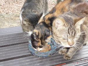猫、ひろっちゃった  我が家のコヨリは、ボロボロになって、庭に倒れていた。   近寄っても、逃げる気力も元気もない状態だ