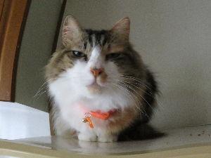 猫、ひろっちゃった 現在の「チイ」   退院してきた時は、生き延びるだろうか?  って思ていた。  数年前も毛玉が閊えて