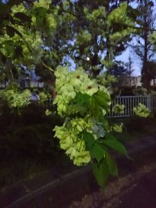 朝靄の中で。。。 春ネタを1つ!  緑の桜❗